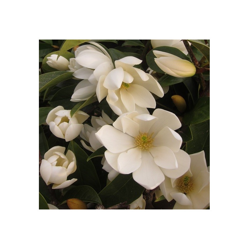 Michelia fairy cream®