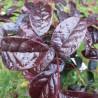 Loropetalum red in black
