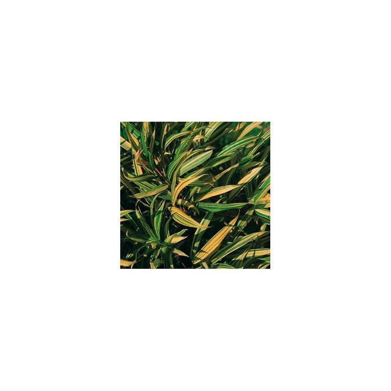 Sinobambusa tootsik variegata