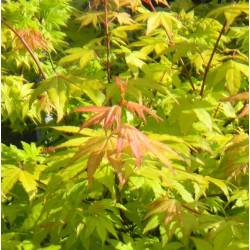 Acer palmatum summer gold