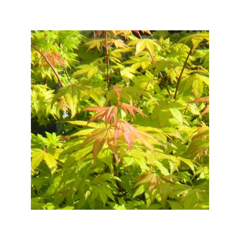 Acer Palmatum Summer Gold Yellow Maple Tree