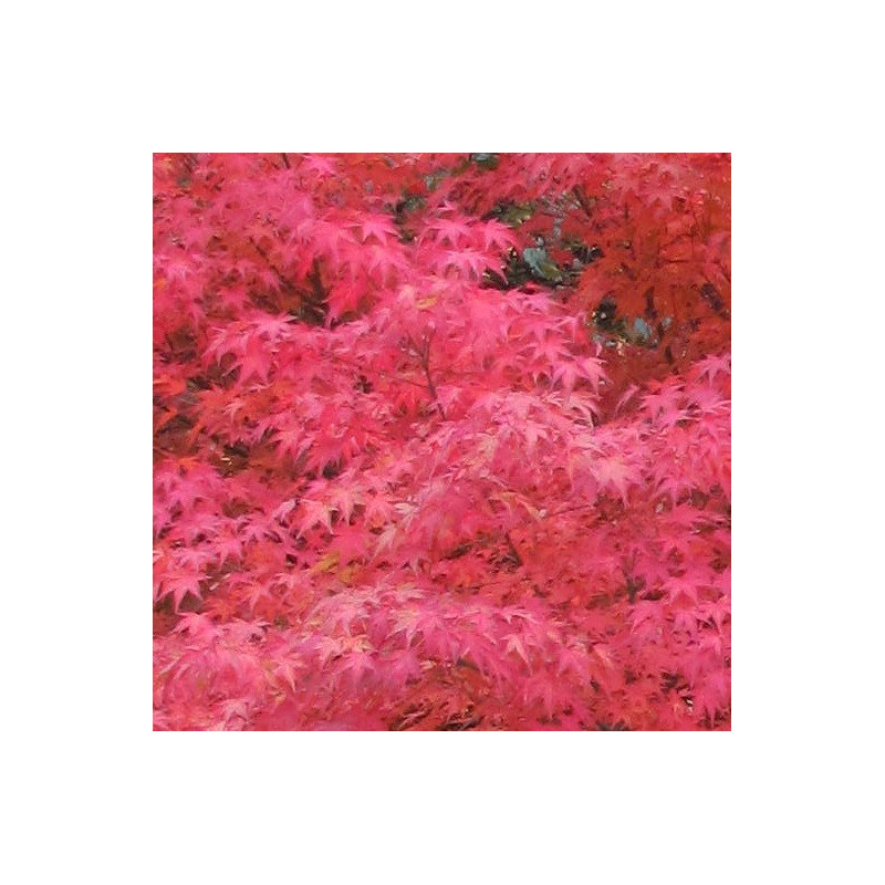 Acer palmatum red flash