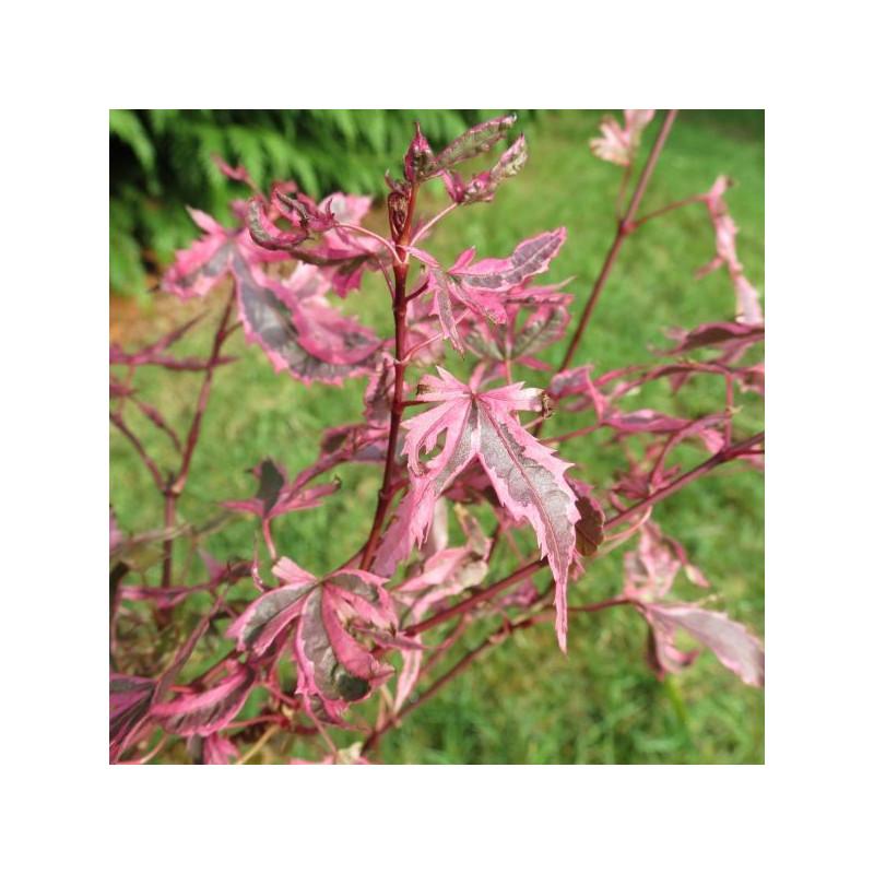Acer palmatum marlo®