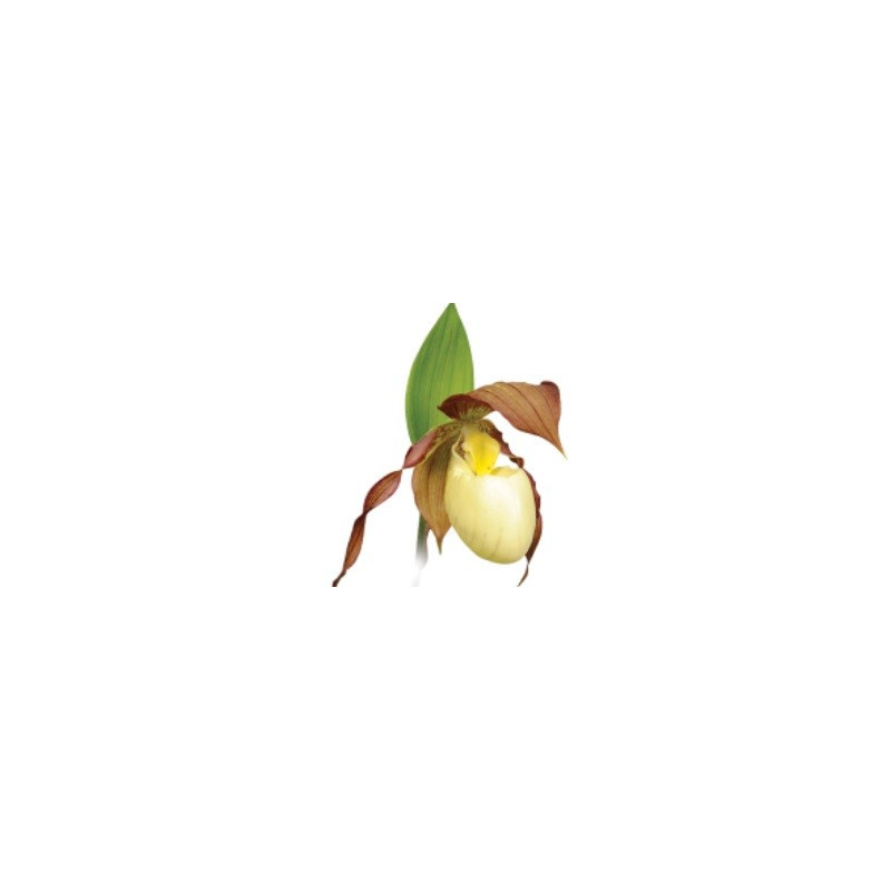 Cypripedium Kentucky