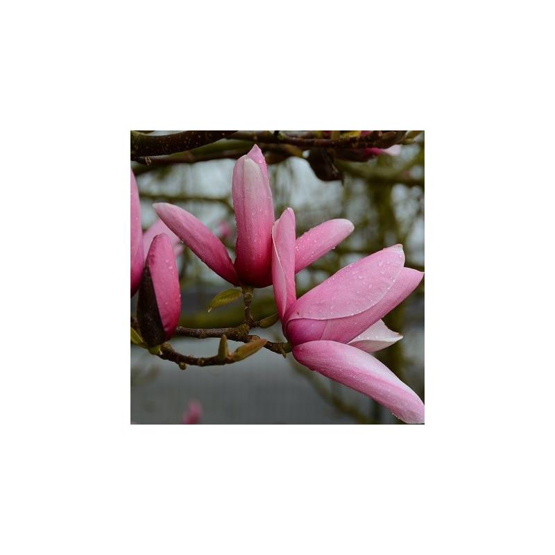 Magnolia star wars