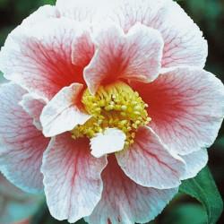 Camellia oo-la-la