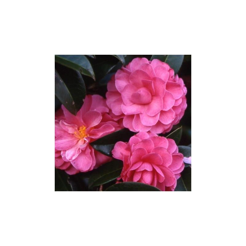 Camellia adorable