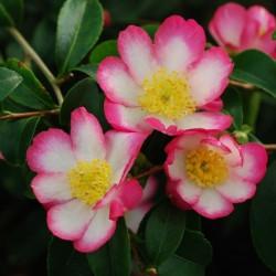 Camellia rainbow