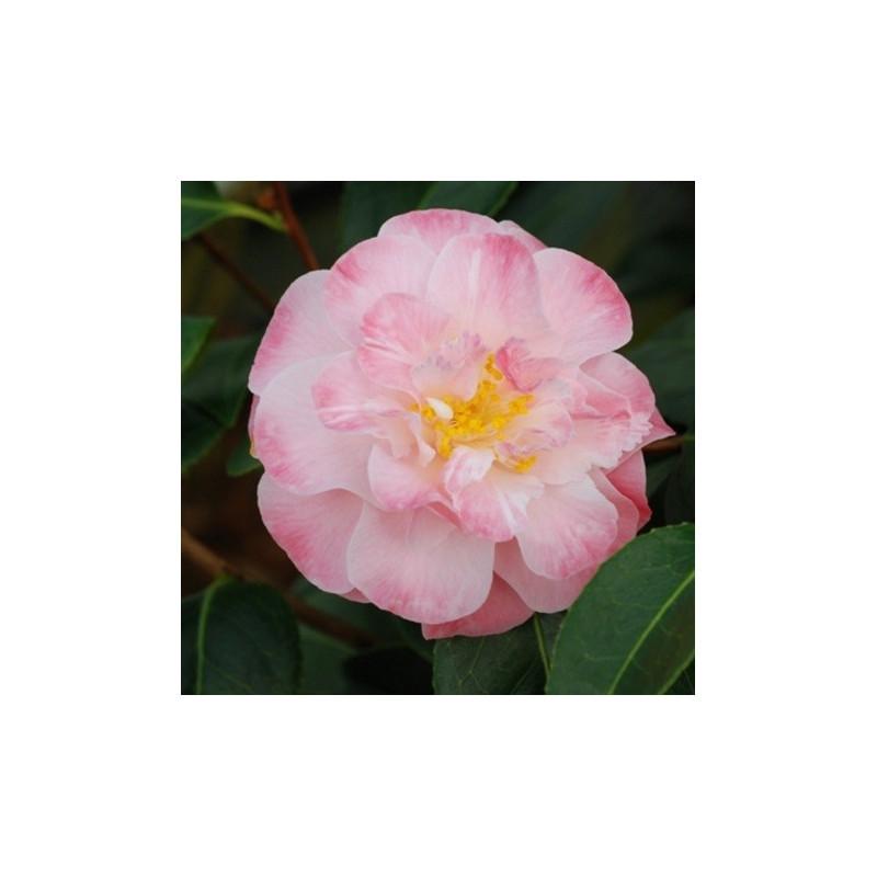 Camellia spring daze