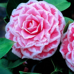 Camellia Tom Pouce