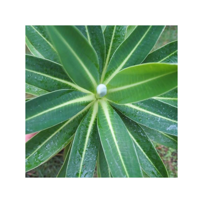 Euphorbia mahana