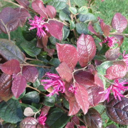 Loropetalum Ming dynasty