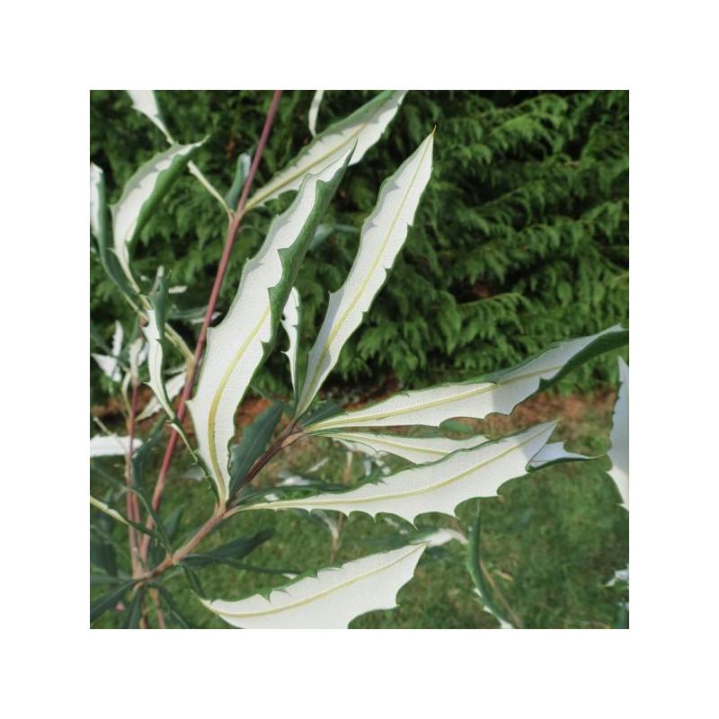 Banksia integrifolia compar