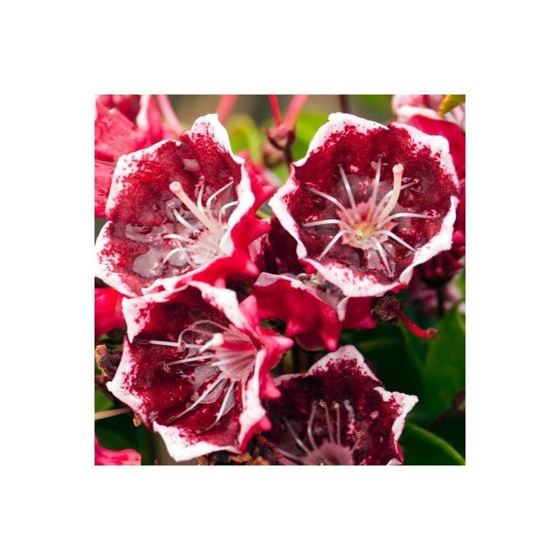 Kalmia latifolia kaleidoscope
