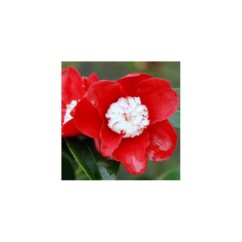 Camellia bokuhan