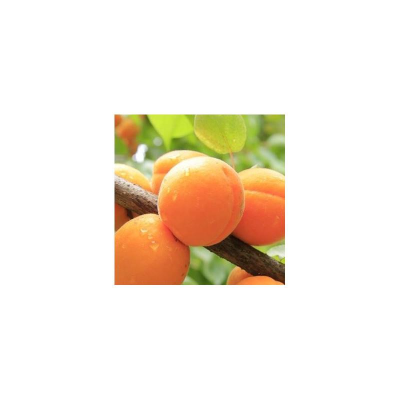 Prunus garden aprigold®