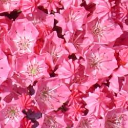 Kalmia latifolia pink charm