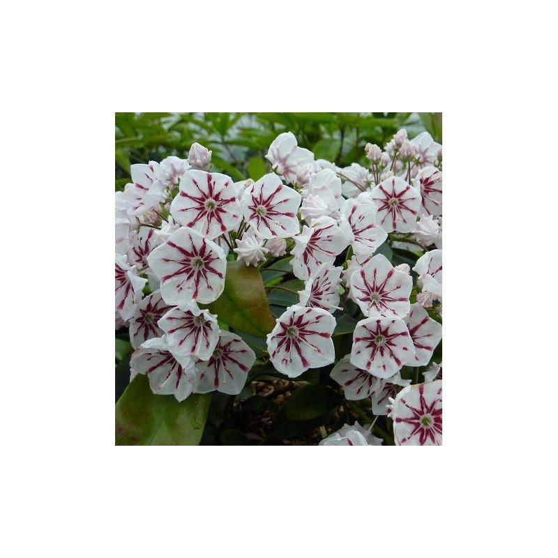 Kalmia latifolia peppermint