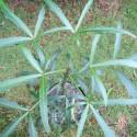Pseudopanax linearifolius