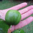 Passiflora herbertiana