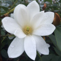 Michelia fairy white®