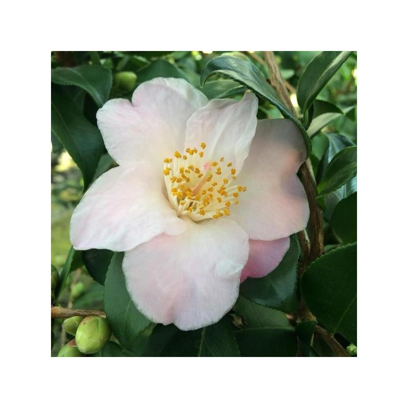 Camellia cinnamon scentsation