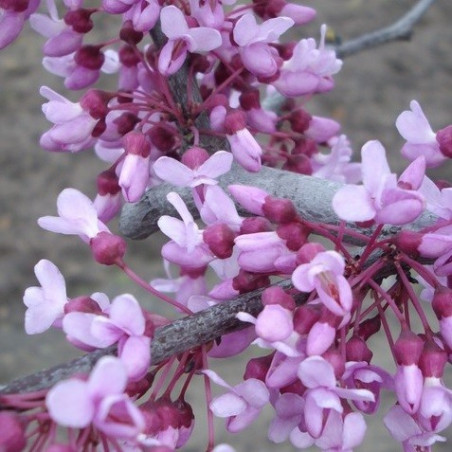 Cercis lavender twist®