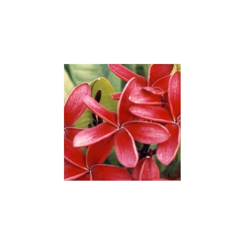 Plumeria rubra rouge