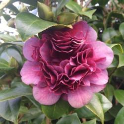Camellia takanini