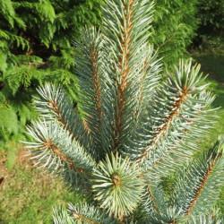 Picea pungens isele fastigiate