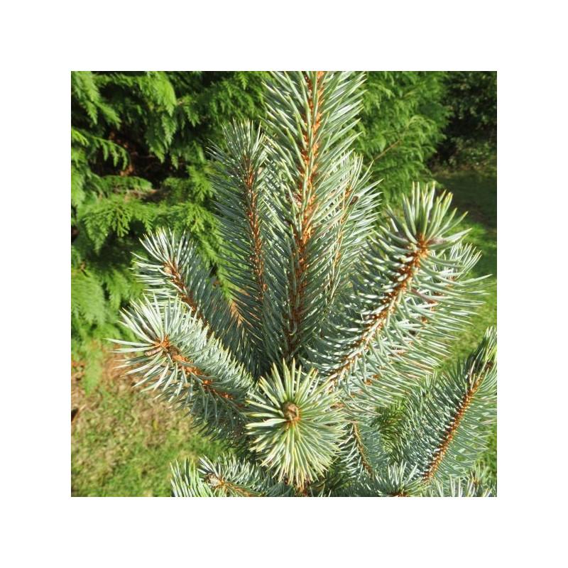 Picea pungens iseli fastigiate