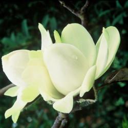 Magnolia campbellii alba