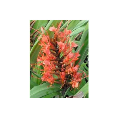 Hedychium cord red
