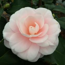 Camellia Ave Maria