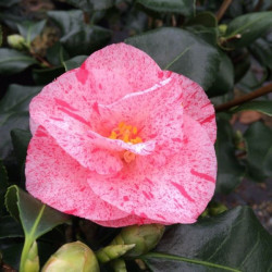 Camellia Betty Sanders
