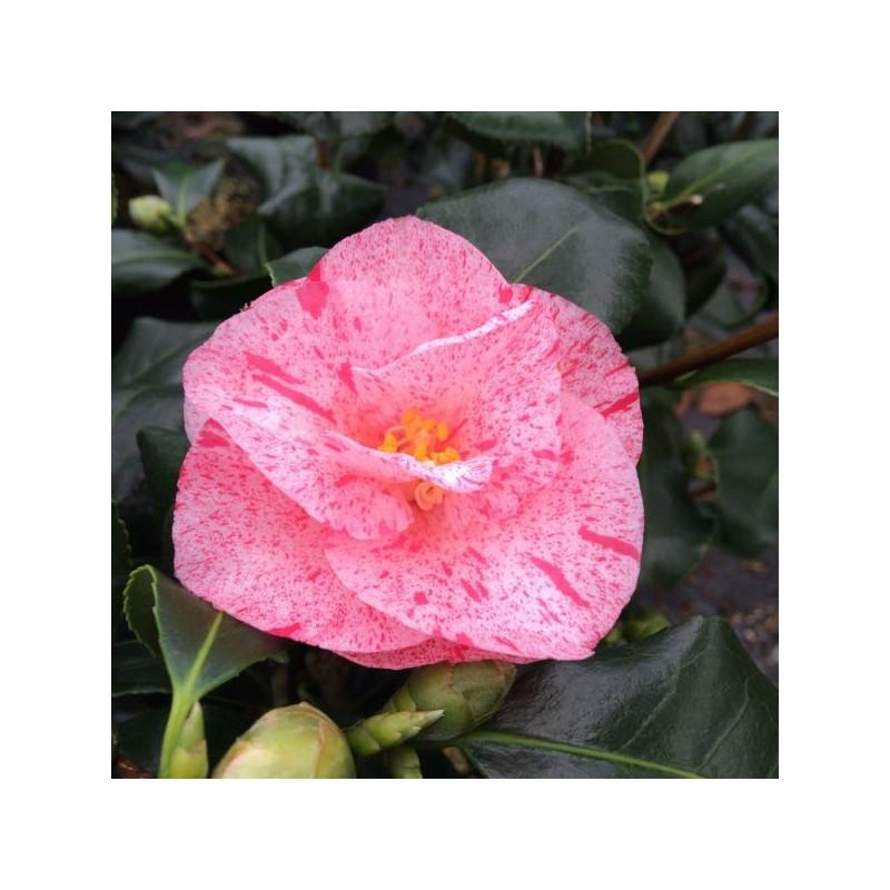 Camellia Betty Sanders