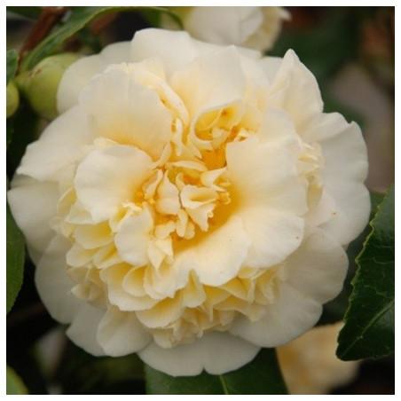 Camellia Jury's yellow