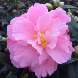 Camellia lovely lady