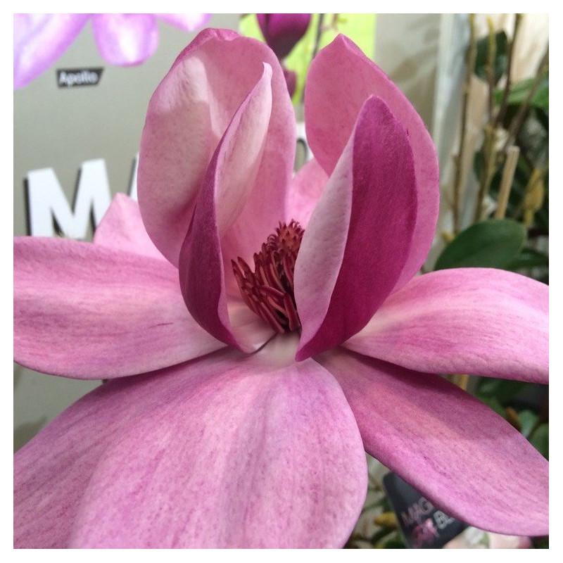 Magnolia Brixton belle