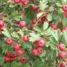 Crataegus azarolus rouge