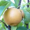 Pyrus pyrifolia shinko