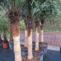 Trachycarpus fortunei dénudé