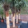 Trachycarpus fortunei (bare trunk)
