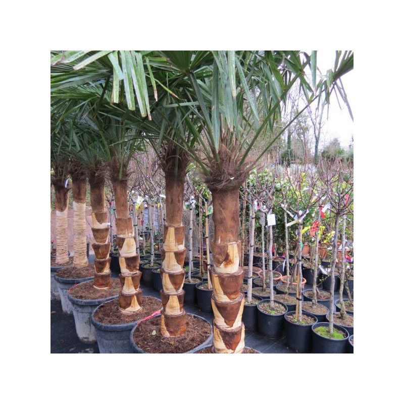 Trachycarpus fortunei deco