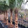 Trachycarpus fortunei (ringed trunk)