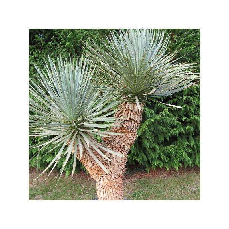 Yucca hidra 1 m 20