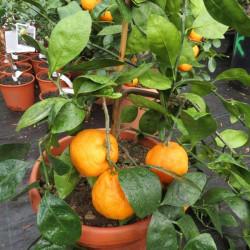 Citrus Unshiu 14 l