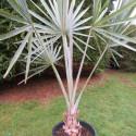 Bismarckia nobilis 25 l