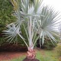 Bismarckia nobilis 50 l