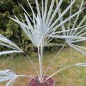 Bismarckia nobilis 8 l